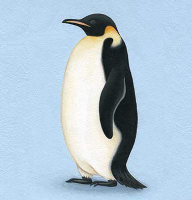 コウテイペンギンの画像 p1_39