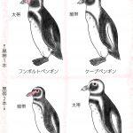 そっくり!? フンボルトペンギン・ケープペンギン・ガラパゴスペンギン・マゼランペンギン見分け方