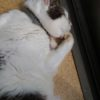 猫の慢性腎臓病の薬。フォルテコールと球形吸着炭マイラン。