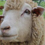 ヒツジ〜毛も肉も利用できる素晴らしい生き物ですが、利用方法を間違えると……