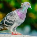 ハト〜平和の象徴であるハトと人間の共存を模索する