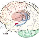 心・脳・機械(15)情動と神経系(哺乳類、扁桃核)