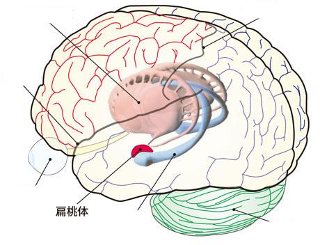 哺乳類の脳の中で、情動に関連して一番重要なのは扁桃体