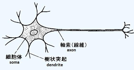 神経細胞(英語で言うとニューロン)