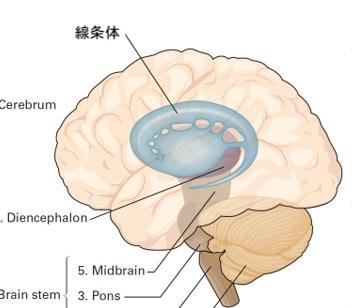 大脳基底核図
