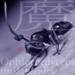 【 生物学魔談 】魔の胞子・タイワンアリタケ(1)