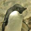 アデリーペンギン〜アデリーペンギンは「人でなし」か?