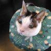 肛門腺破裂再発と猫にやさしいエリザベスカラー