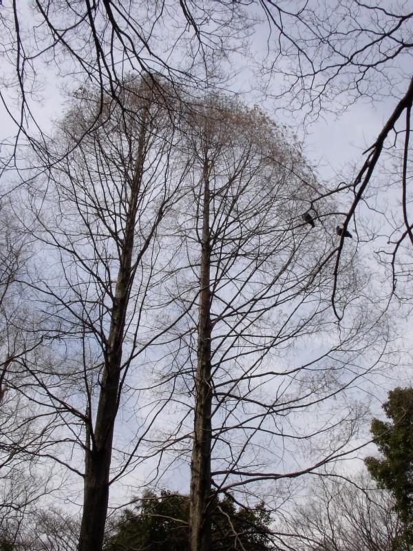 おとめ山公園 高木 2007年3月撮影