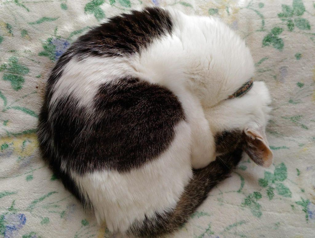 顔を隠して丸まって眠るネコ
