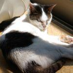 昔は乱暴猫だったムギ。二十歳になった今はすっかりおとなしい猫に。