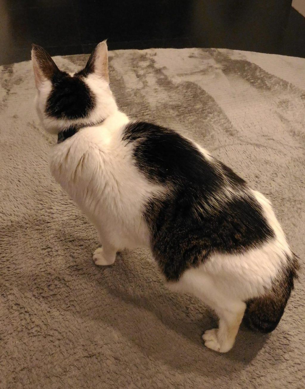 20歳の猫ムギ。後ろ姿。かわいい。