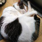 二十歳の猫、ムギ、長生きの理由?