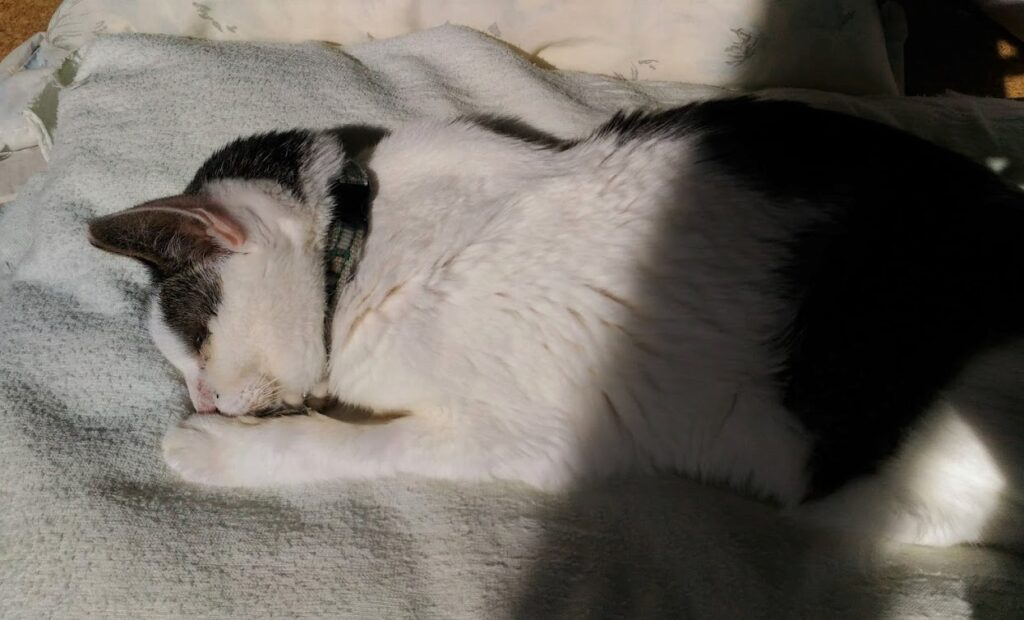 二十歳の猫ムギ。2021年