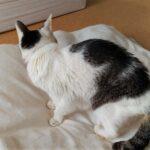 慢性腎臓病の猫のトイレ問題。多飲多尿と便秘。